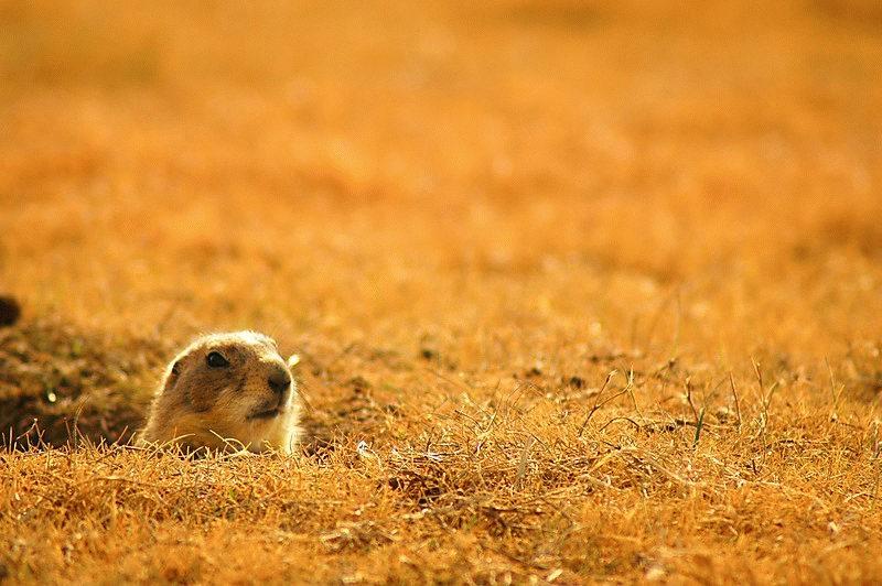 Hermosos perros de las praderas info y fotos