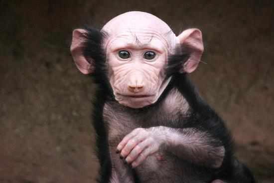 Лысый маленький бабуин из британии 10