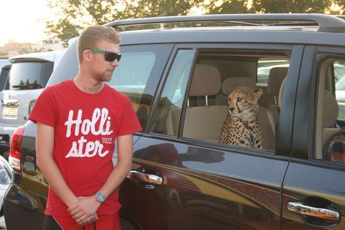 животное и авто, дикое животное, зверь в машине