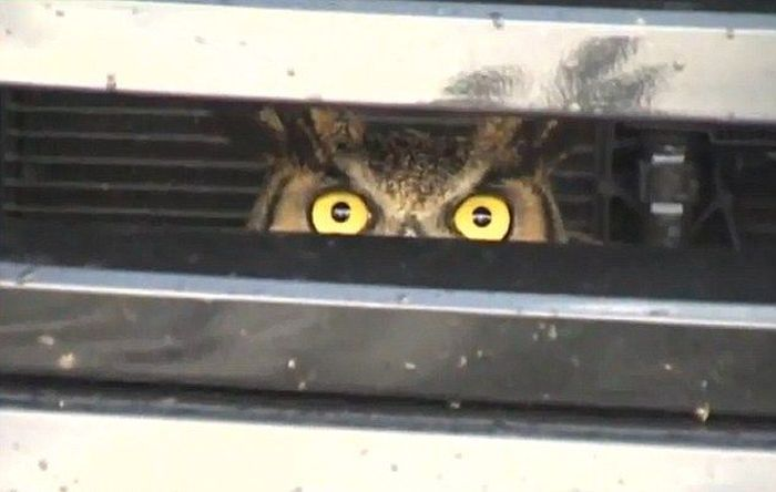 сова, сова врезалась в машину