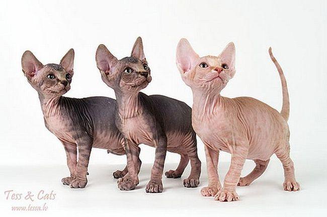 Голые котята (20 фото)