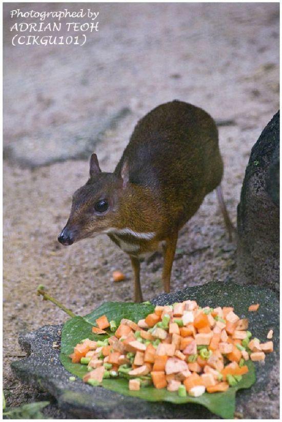 თაგვის მსგავსი ირემი