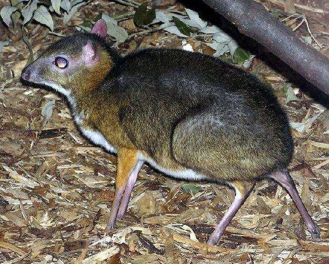 Олень похожий на мышь (23 фото)