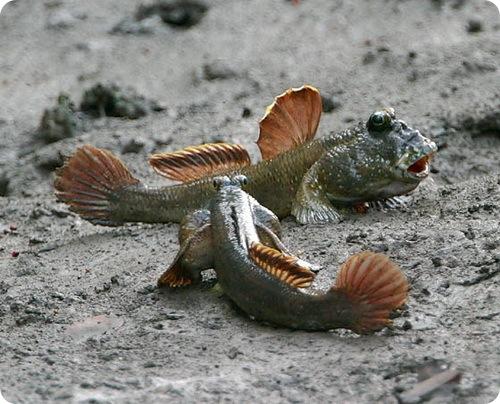 mudskippers4.jpg