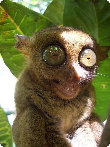 tarsier20.jpg
