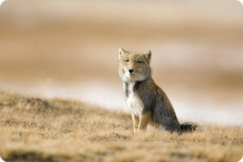 tibetan-fox.jpg