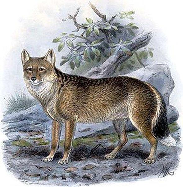 Фолклендская лиса