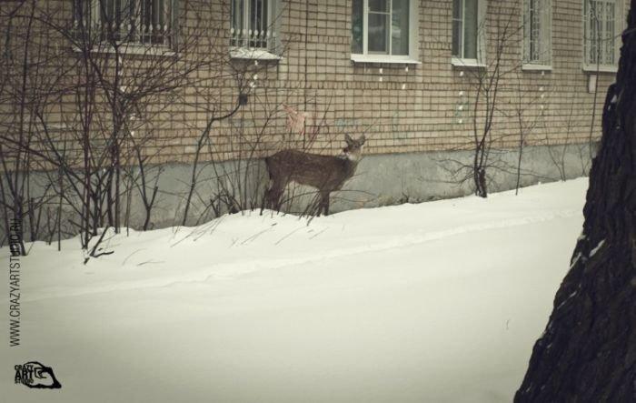 На улицах Ярославля разгуливает олененок (43 фото)