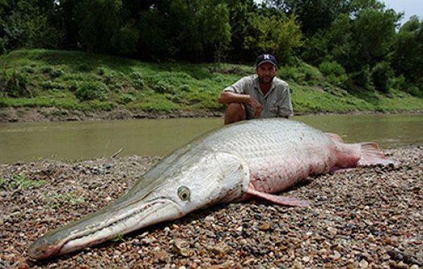 Рыба Аллигатор Гар (10 фото)
