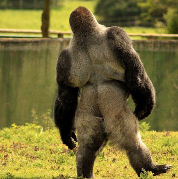 Горилла Амбам, которая ходит на двух ногах (6 фото + видео)