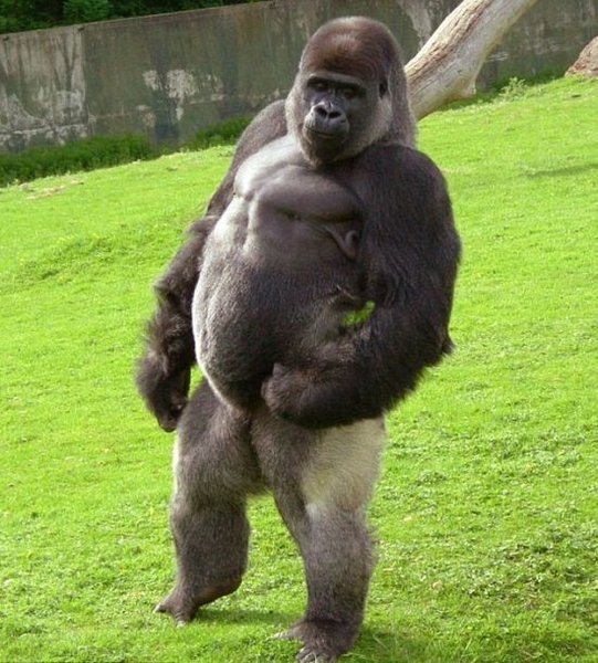 Самец гориллы занимается сексом с девушкой видео