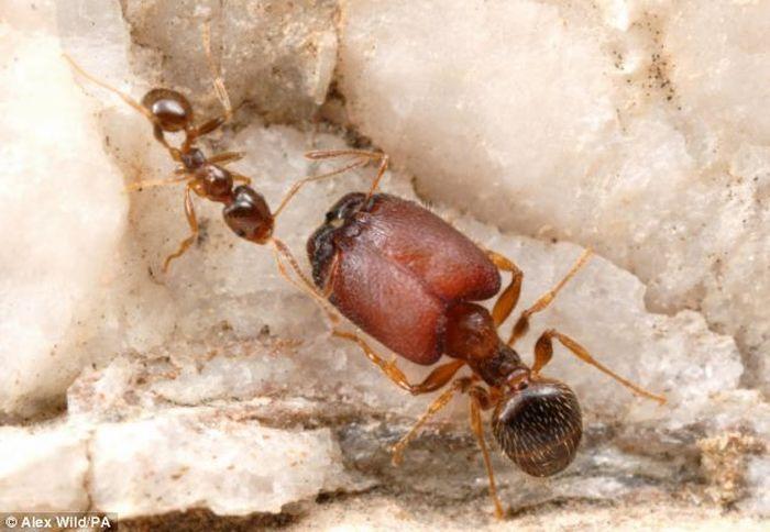 Канадские ученые вырастили муравьев-мутантов с огромными головами и челюстями (2 фото)