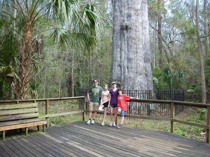 Погибло одно из старейших деревьев на Земле (19 фото)