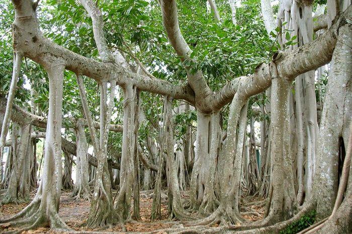 Великий баньян — это дерево со множеством стволов и самой большой кроной в мире (14 фото)