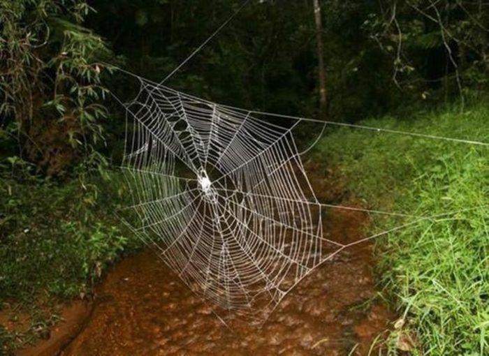 Мадагаскарский паук Caerostris darwini (10 фото + 1 видео)