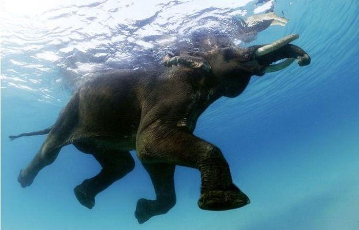 Последний плавающий слон Андаманских островов, Индия (10 фото)