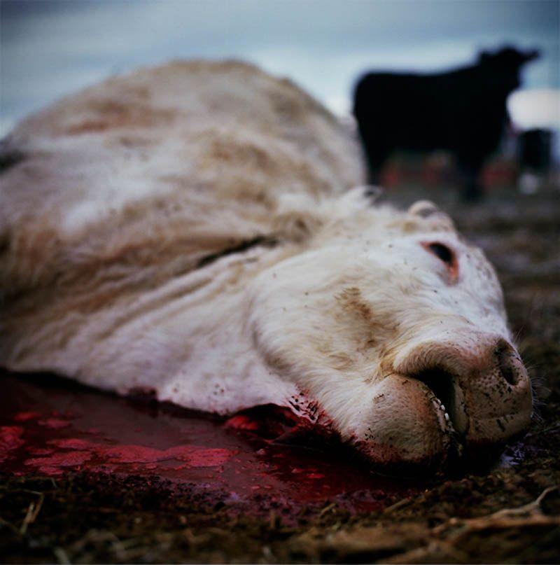 лучшие фотографии животных со скотобоен как приготовить разные