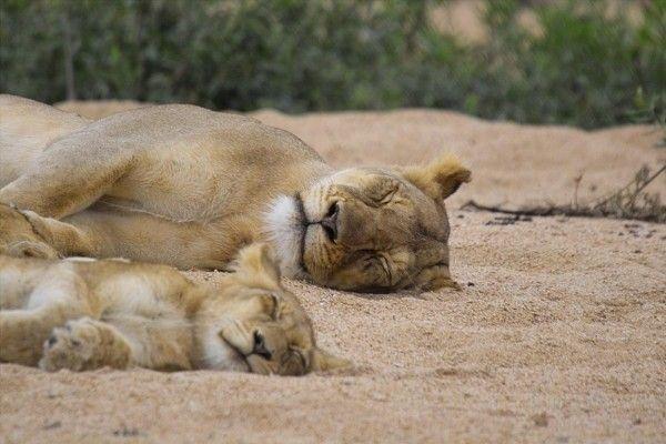 Родительская опека в мире животных (29 фото)