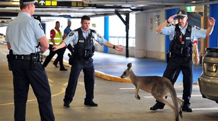 Фанни фото животное, кенгуру, охрана, парковка, прикольная фотографи, стоянка