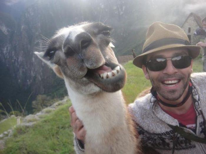 Фотожесть верблюд, выражение лица, животное, лама, прикольная фотографи
