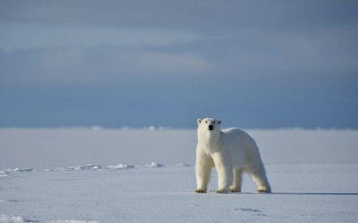 белый медведь, оператор, снег, животное, зверь