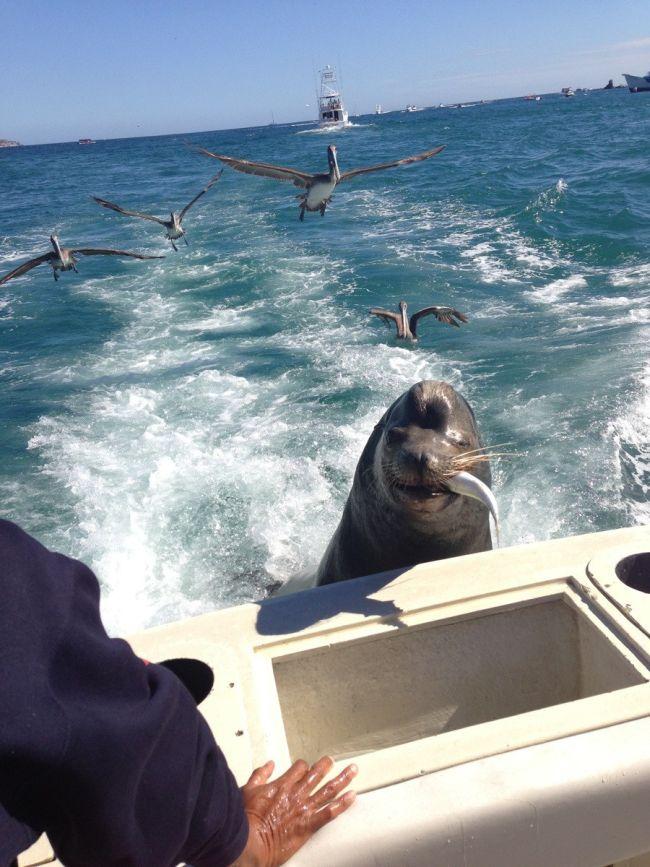 Фото онлайн морской котик, морской лев, океан, прикольная фотографи, птицы, хищник
