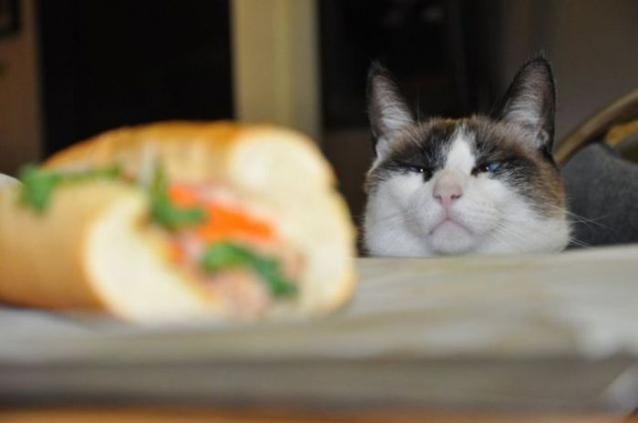 Прекрасные фото взгляд, выражение лица, голодный кот, кот, прикол, прикольное фото