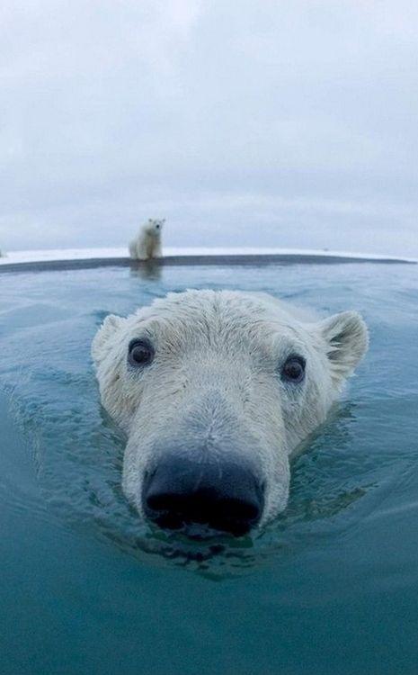 Фотоподборка белый медведь, зверь, красивый, кровожадный, мишка, полярные медведи