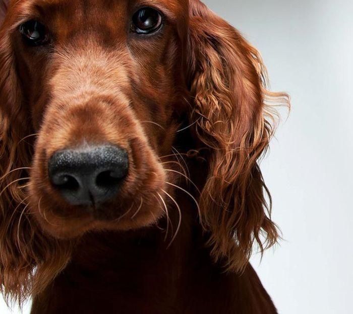 Портреты собак от Жерарда Чарльза Гетингса (11 фото)
