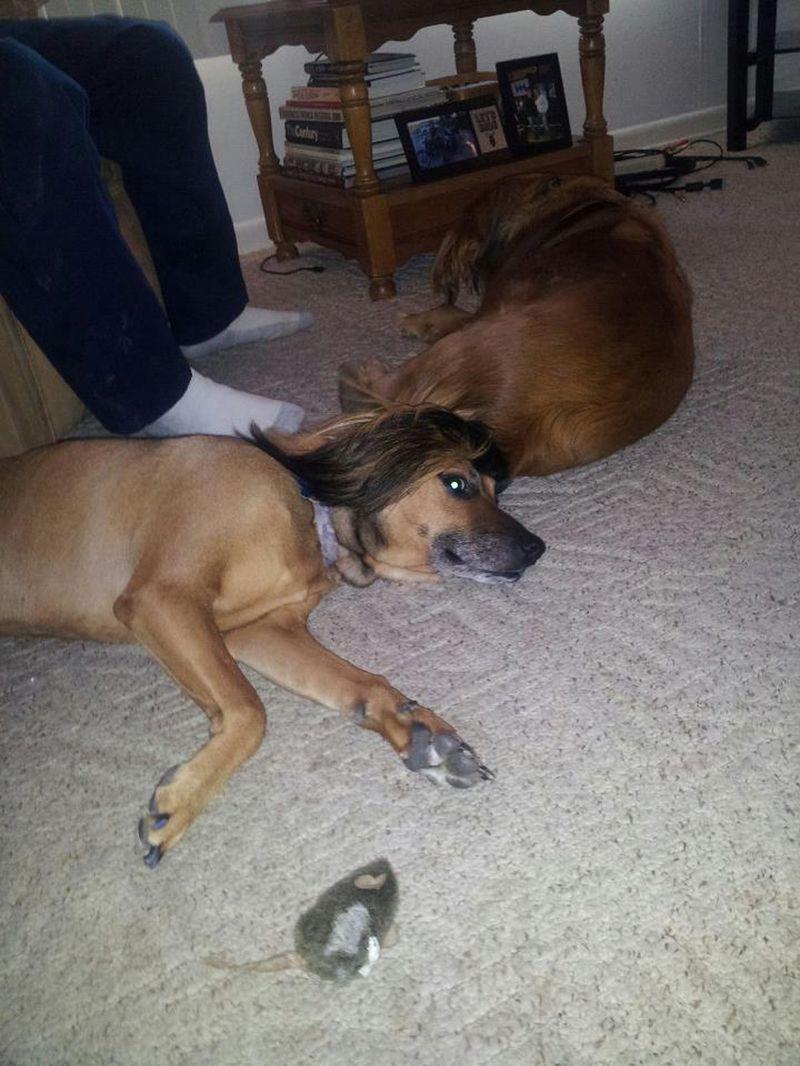 Фотоприкол онлайн домашние животные, прикольная фотографи, прическа, псина, собаки, стрижка