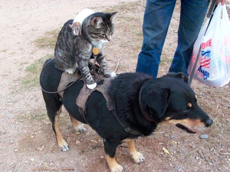 Новые фото доминирует, животные, катается, кошка, мышка, прикол, собака, транспорт