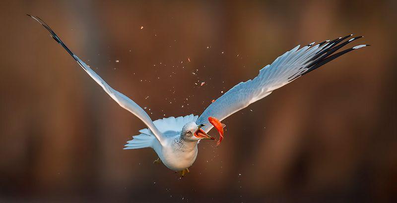 Смешной фотоприкол добыча, за секунду до, крутая фотография, птица, рыбка, стоп-кадр, чайка
