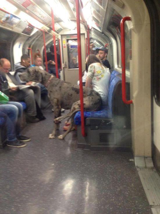 Фотоальбом как человек, общественный транспо, огромная собака, псина, сидит, собака в метро