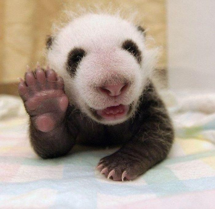 Юмор детеныш панды, малыш, машет, милашка, милое создание, ребенок, ручка