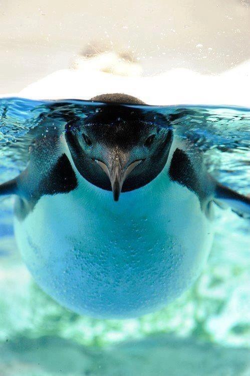 Фото красивая фотография, пингвин, под водой, прикольное животное, птица