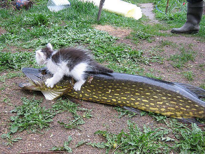 Бесплатно фото вцепился, добыча, котенок, крупная рыба, улов, хищник, щука
