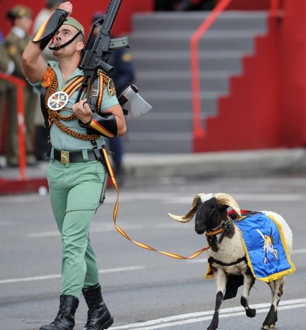 Фотоприкол фото баран, барашек, костюм, нарядил, оружие, парад, парадная форма