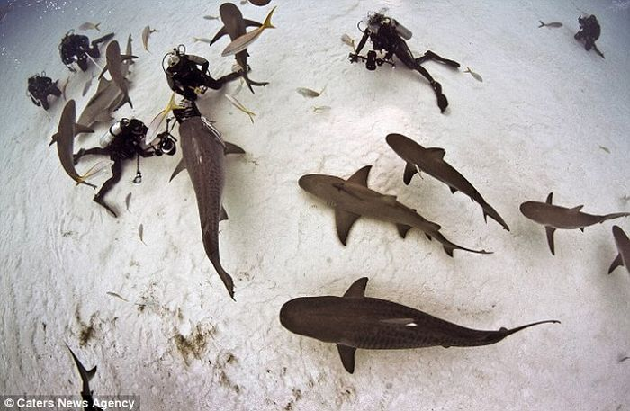 акула, тигровая акула, под водой, аквалангист