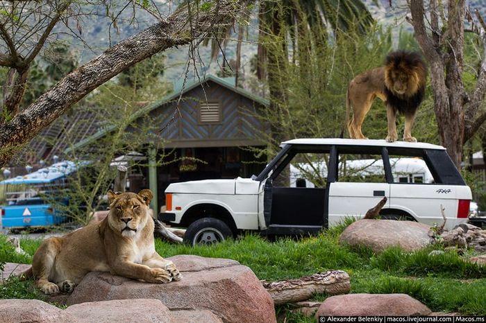 зоопарк, животные, звери, птицы, тигр, косуля, свинка