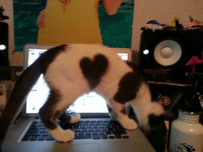 Фанни фото котейка, любимец, ноутбук, питомец, сердечко