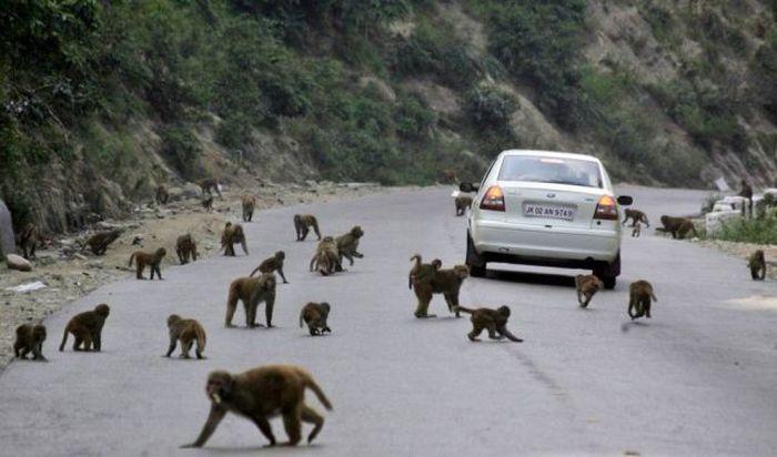 Юмор животные, на дороге, обезьяны, прикольная фотка, приматы