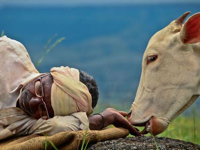 Фотоальбом бездельник, животное, индия, корова, лижет, мудрец, темнокожий