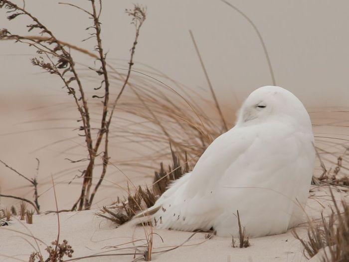 Фотоприкол онлайн бесплатно белая птица, зима, красивая птица, красивая фотография, снег, сова