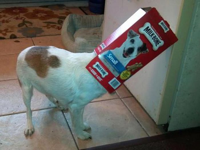 Зачетное фото голова в коробке, корм, питомец, прикол, собака, спрятался