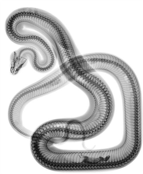 Прекрасные фото змея, крутая картинка, мышка, позвоночник, рентген, хребет