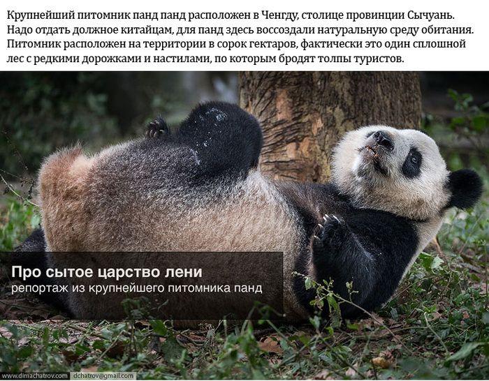 панды, питомник,