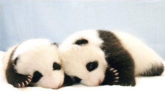 Детёныши панды (4 фото)