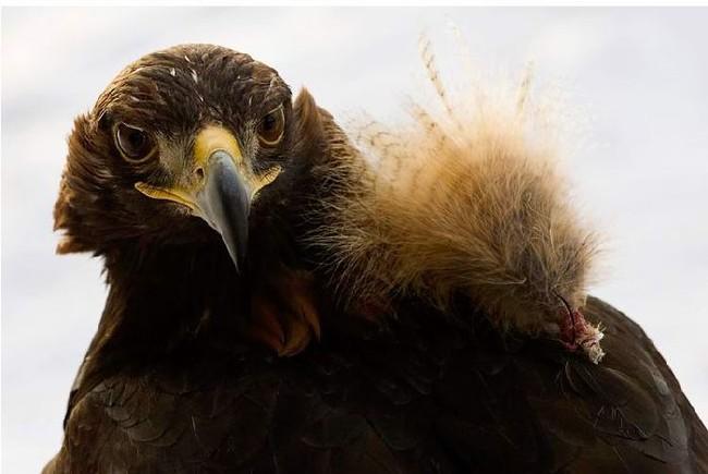 Соколиная охота (13 фото)