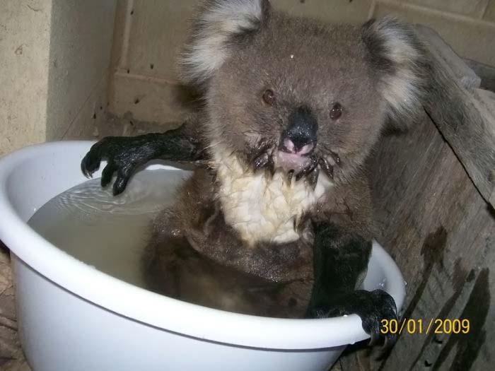 Как купаются коалы (5 фото)