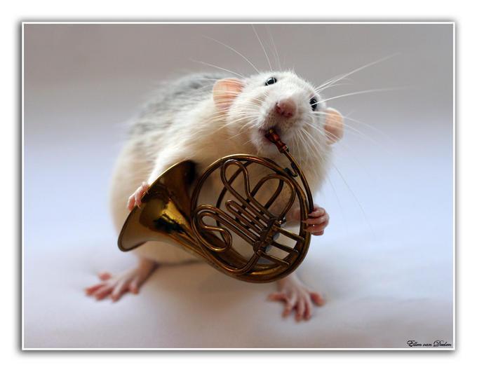 Крысы позируют (16 фото)